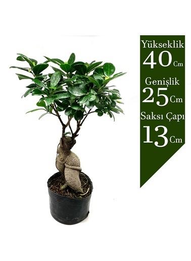 Çiçek Antalya Çiçek Antalya Ficus Bonsai 40 Cm Geniş Gövdeli Yeşil
